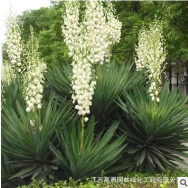 剑麻苗庭院植物绿化苗工程苗易养活 丝兰凤尾兰