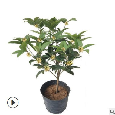 四季桂花苗盆栽流苏嫁接耐寒金桂花树苗 绿化工程苗木造型丹桂