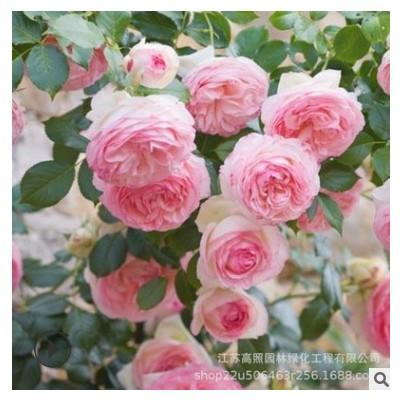 粉色系龙沙宝石欧月藤 棚架绿化本月季爬藤 匍匐围墙月季玫瑰花