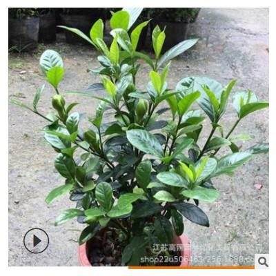 喜湿栀子花盆栽 光照中性室内浓香盆栽花卉 园林绿化黄栀子树苗