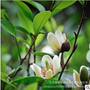 四季开花带叶带花含笑树苗 乐昌含笑庭院植物 耐寒花卉含笑花盆栽