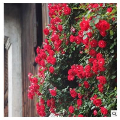 攀援大红小女孩月季多花阳台蔷薇夏令营盆栽微型多头藤本月季花苗