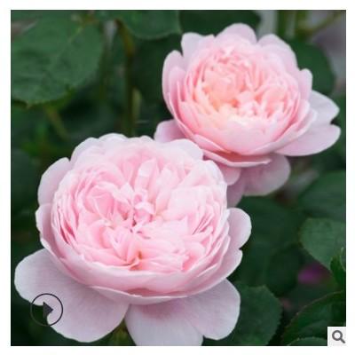 月季花苗瑞典女王四季开花灌木浓香切花月季庭院阳台花卉盆栽玫瑰