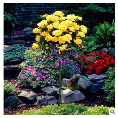 多色系树状月季花 香气浓郁杯状中性多季开花系植物 常温现代月季
