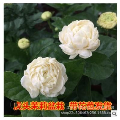 喜阳虎头茉莉盆栽 喜湿白茉莉绿植花卉 室内白色茉莉花盆栽