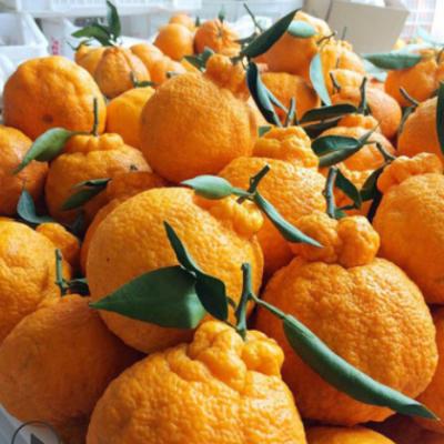 【不知火】四川丑橘丑八怪丑桔9斤脆甜汁多新鲜水果一件代发