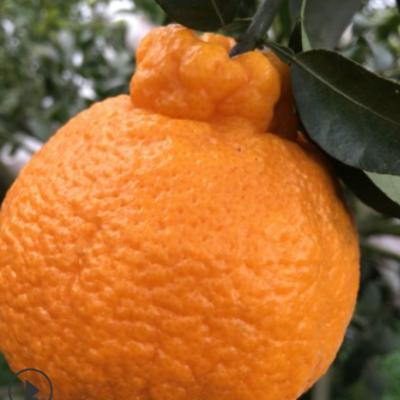 【不知火】四川丑橘不知火 脆甜汁多新鲜水果一件代发