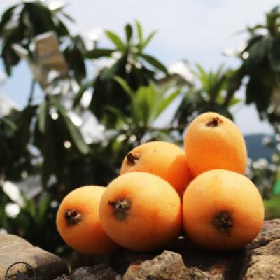 四川大五星枇杷 酸甜汁多现摘现发新鲜水果一件代发批发