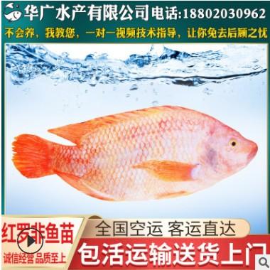 养殖场观赏红罗非 红罗非鱼苗 福寿鱼供应 养殖水产活体