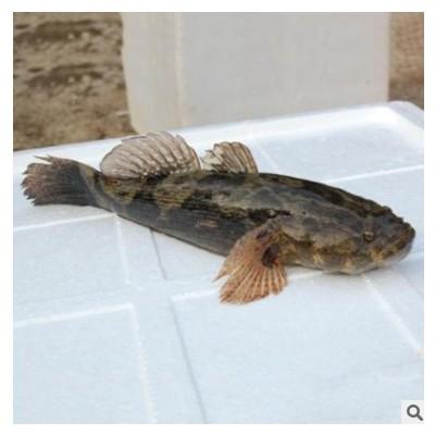 大量批发 笋壳鱼 淡水笋壳鱼苗批发 现货销售 鱼苗活体
