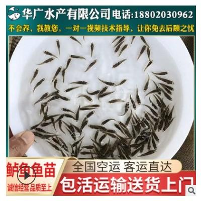 大量批发 大口鲈鱼 加州鲈鱼 七星鲈鱼苗 加州鲈鱼苗 量大从优