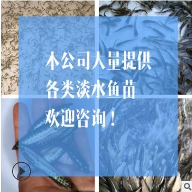 【鱼苗热销】黄颡鱼苗 黄骨鱼 黄辣丁批发 黄骨鱼苗批发 淡水