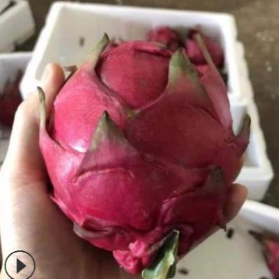 广西红心火龙果5斤 新鲜水果当季现摘金都一号火龙果一件代发