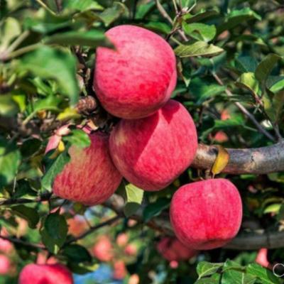 陕西洛川新鲜红富士苹果生鲜水果礼品脆甜10斤整箱批发一件代发