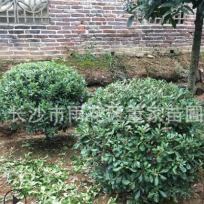 批发蓬径1.2米的海桐球 湖南优质海桐球 董家苗圃自产自销