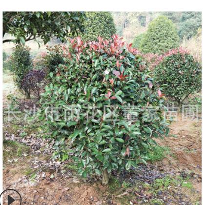 直销红叶石楠球 冠幅120cm红叶石楠球 货源充足 量大优惠