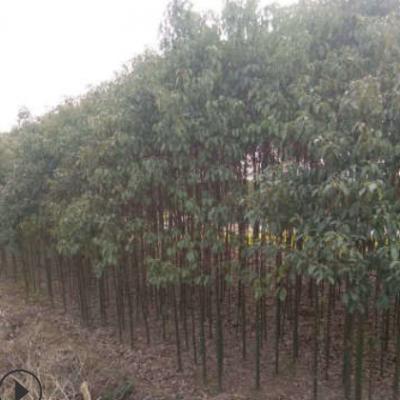 基地供应 小香樟树行道树 绿化树苗 常绿园林绿化工程香樟树