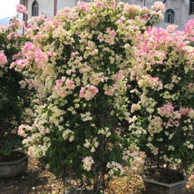 福建绿叶樱花三角梅批发 勒杜鹃 产地直销白里透红三角梅种植基地