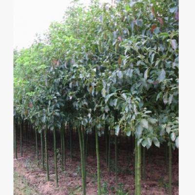 批发精品小叶香樟树 大叶香樟树苗 大小规格苗木花卉 量优价优