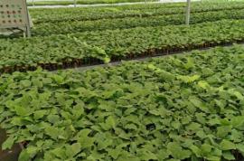 近期蔬菜生产管理技术意见