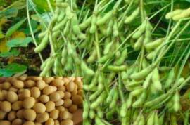 黄豆栽培技术,种植方法简单、独特、质量好、产量高