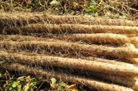 淮山的栽培管理,搞好病虫害防治,栽植优质淮山