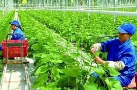 不打农药,不施化肥,能不能种出好蔬菜?