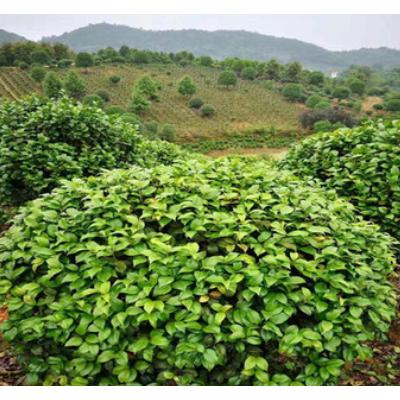 批发山茶花球 山茶花树各种规格 基地品种齐全园林绿化 现货供应