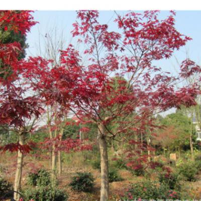 基地直销湖南红枫树 3-8cm公分等各种规格的原生红枫 嫁接红枫