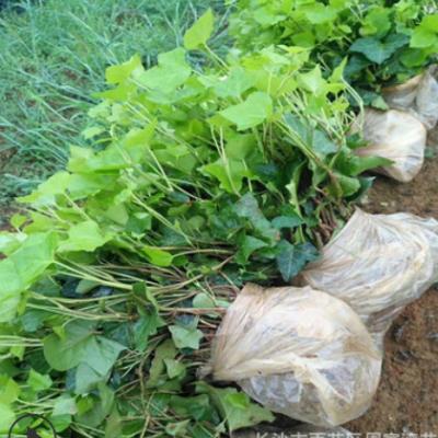 基地批发常青藤 长青藤小苗价格 墙体绿化种植四季常青 量大优惠
