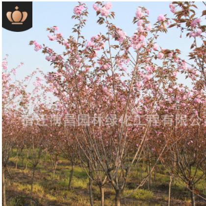 植物樱花树木 庭院园林绿化工程苗 批发樱花树苗