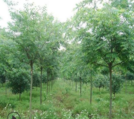 红榉树苗低价批发园林绿化苗木 行道风景树 红榉造型树 10-18公分