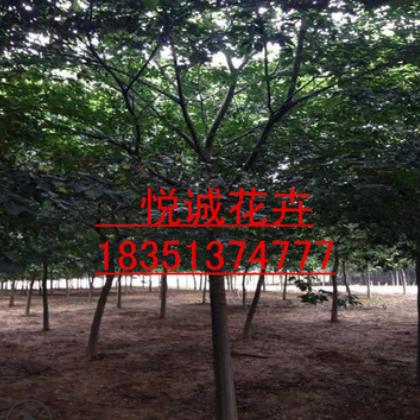 朴树树苗基地批发 园林绿化四季常青造型树规格齐全朴树小苗