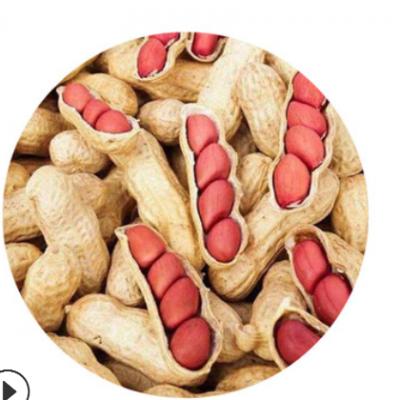 新货 大量批发 东北生四粒红花生带壳 可发芽 /25kg/