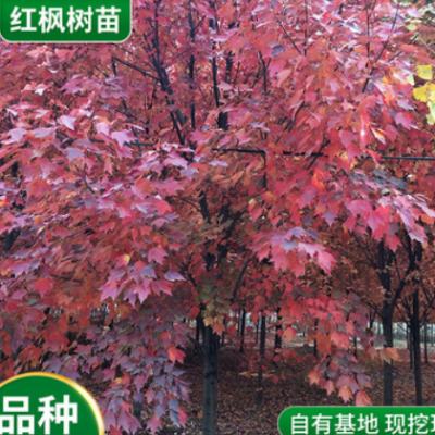 批发红枫基地销售各种规格红枫树秋火焰红点红冠现场打号直接起苗