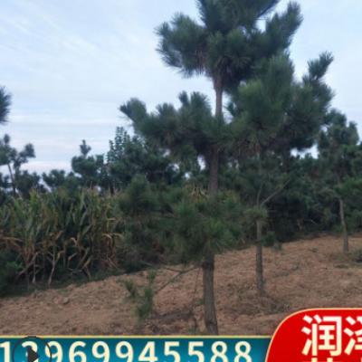 基地直销黑松树造型松形状优美