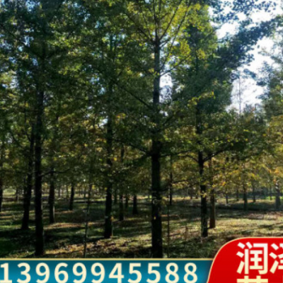 基地直销2-80公分银杏树规格齐全货源充足价格合理