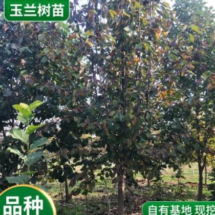 基地批发玉兰树苗园林绿化美观白玉兰 紫玉兰 红玉兰庭院观赏树