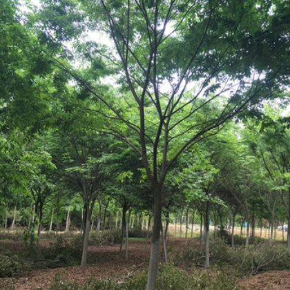 基地现货批发榉树树苗现挖现卖观叶小叶榉树绿化造景湿地风景树