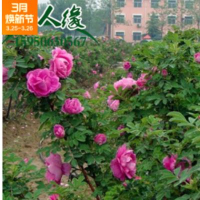 四季玫瑰平阴紫枝工程园林绿化红杆玫瑰花抗盐碱适宜好养易成活
