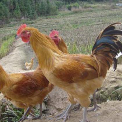 厂家供应 农家公鸡母鸡 散养土鸡 现杀放养土鸡肉农家 批发生产