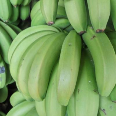 云南河口香蕉混批1斤起批发