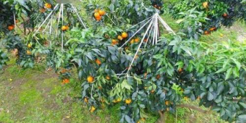 红美人柑橘温室栽培技术,做好病虫害防治,提高果农种植收入