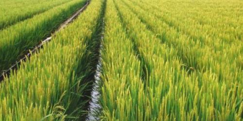 稻田养鱼:全新养殖政策,农业养殖更方便