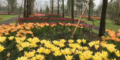 园艺经验分享:百合种植技术