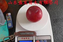 国峰七号李子苗种植与修剪管理技术分享,晚熟李子优新品种