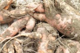 胡萝卜的秋季管理技术措施是什么?掌握管理技巧,胡萝卜长得好