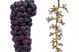 安徽硒无忧现代农业科技有限公司推广富硒葡萄种植技术