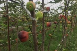临颍:一村民发展特色农业种植无花果,让村民在家门口就业增收