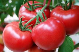 温室番茄的再生栽培技术,提高管理水平促进植株的生长